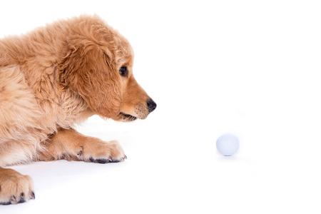 golden retriever puppy: golden retriever puppy watching golf ball Stock Photo