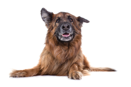 german sheperd in white studio watching the camera with funny expression. Stock Photo