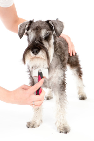 stitting: zwerghschnauzer portrait , in white studio . toilette Stock Photo