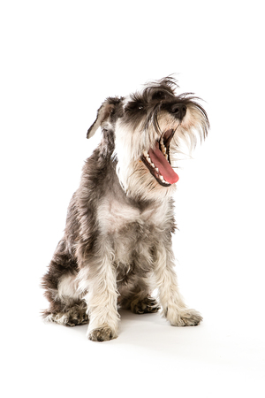 stitting: zwerghschnauzer portrait , sitting in white studio with mouth open.
