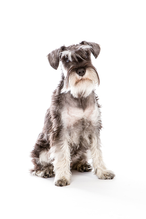 stitting: zwerghschnauzer portrait , sitting in white studio watching Stock Photo