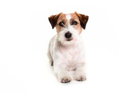 portarit: portarit of a jack russell laying in white background