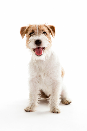 portrait of a jack russell sitting with mouth open