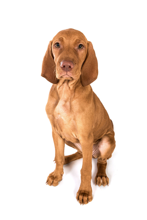 hungarian pointer: Hungarian Vizsla Pointer Puppy  dog portrait in studio ,sitting. Stock Photo