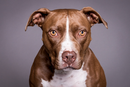 pitt bull dog close portrait in grey background Reklamní fotografie