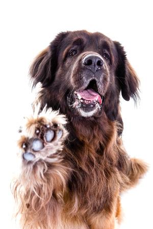 Berner Sennenhund dog portrait  say hi Stock Photo