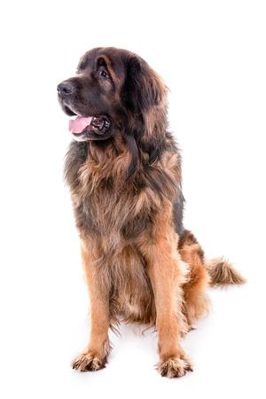 Berner Sennenhund dog portrait sitting on a white background