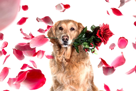 romantic dog with rose in the mouth