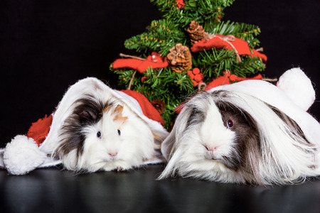 Peruvian Guinea Pigs with christmas cap Stock Photo