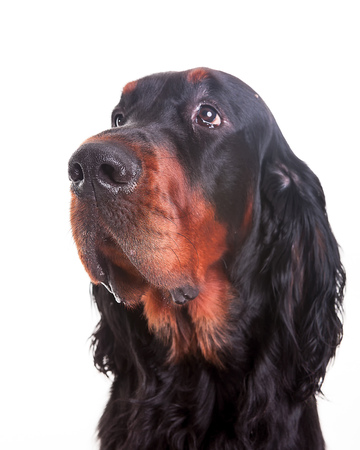 Gordon setter dog in white background,portrait  front view