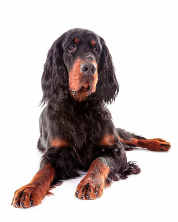 Gordon setter dog in white background, front view Stock Photo