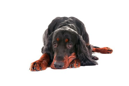 Gordon setter dog in white background, front view, lying down Stock Photo
