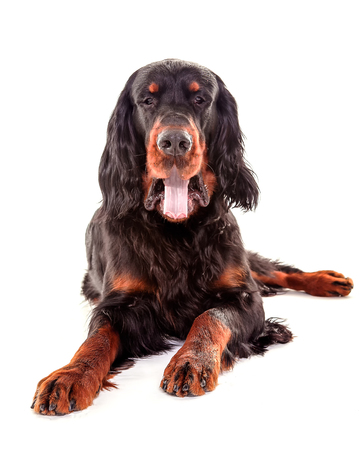Gordon setter dog in white background, front view, showing tongue Stock Photo