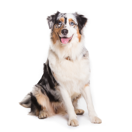 Australian Shepherd dog sitting isolated in white background ,square picture.