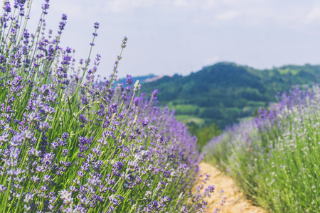 Violet lavender field in Piedmont, Italy.