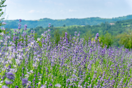 Beautiful landscape with lavender field in Piedmont, Italy Stock Photo