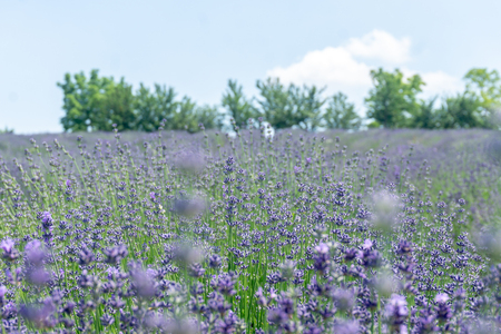 lavender flower, beautiful to wash fields. Stock Photo