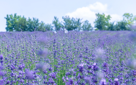Soft focus on lavender flower, beautiful lavendere fiields. Stock Photo