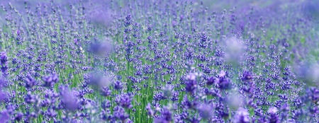 Selective focus on lavender flower in flower fileds, Italy Imagens