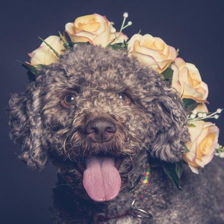 Lagotto dog portrait  with a wreath of flowers on its head Stock Photo