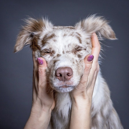 The australian shepherd dog face  in womans hands Stock Photo