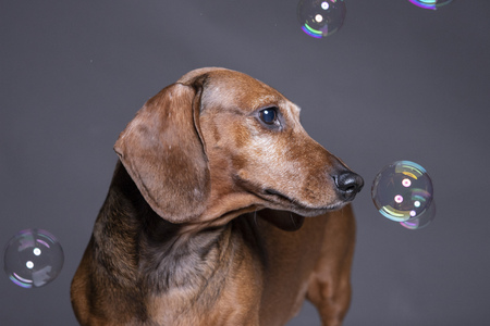 Dachsund dog playing With Soap Bubbles on grey background. Stock Photo