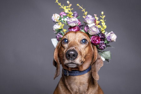 dachsund brown dog in a flowers crown. Stock Photo
