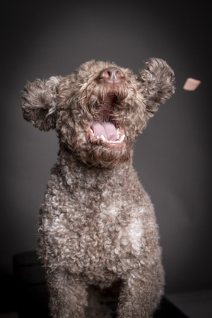 lagotto romagnolo dog catching treat, mouth open.