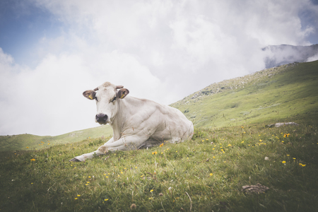 relaxed white cow on pasture in the italian alps Stock Photo