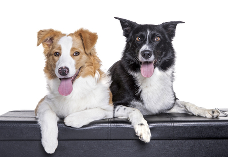 purebred australian shepherds ( different colours) in front of white background, watching and posing.