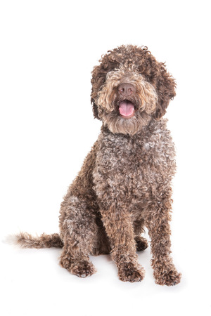 brown lagotto romagnolo dog sitting in front of a white background