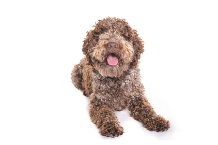 brown lagotto romagnolo dog lying in front of a white background