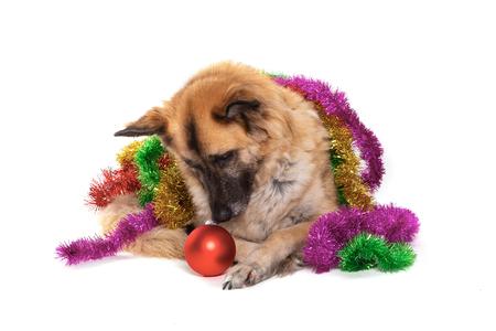 christmas decoration around dog