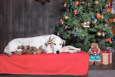 White dog lying at the Christmas tree.