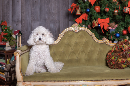 white poodle dog posing in Christmas set
