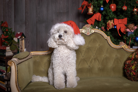 white poodle dog with christmas hat.