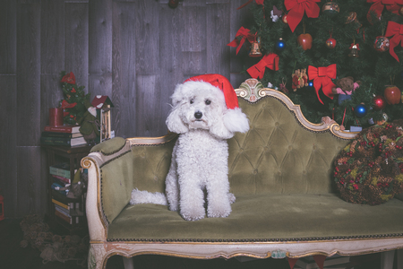 white poodle dog with christmas hat, portrait