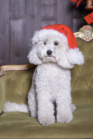 portrait of a white poodle dog with christmas hat