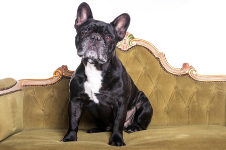 french bulldog sitting and watching in a green sofa