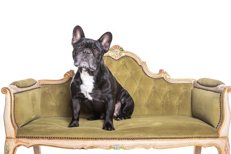 french bulldog sitting and watching in a vintage green sofa.