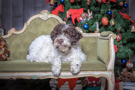 lagotto romagnolo dog sitting in a sofa, christmas time