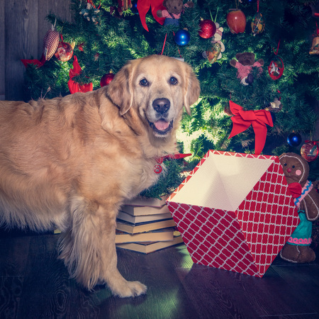 golden retriever dog and his chrstmas box posing and watching Stock Photo