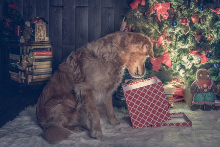 Golden retriever dog watching in his Christmas box.