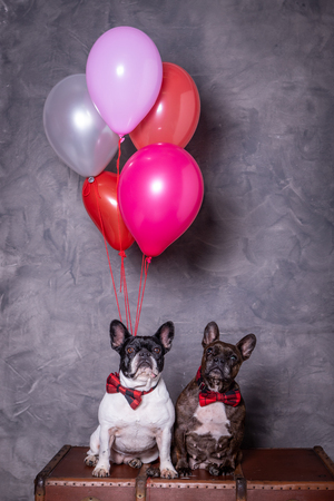 two french bulldog posing with red tie and colored balloons in a grey background