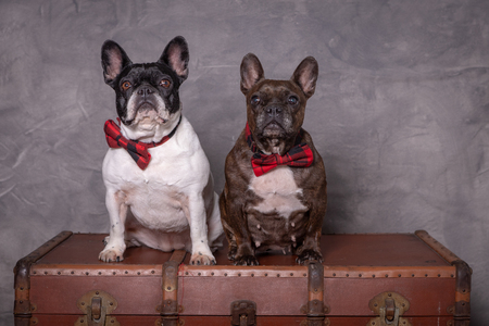 two french bulldog posing with red tie sitting in a grey background Stock Photo