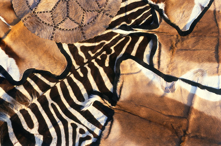 springbuck: Animal skins for sale to tourists who visit Botswana, they include Zebra, Impala & Springbuck. Sold as rugs, or for hanging on the wall.