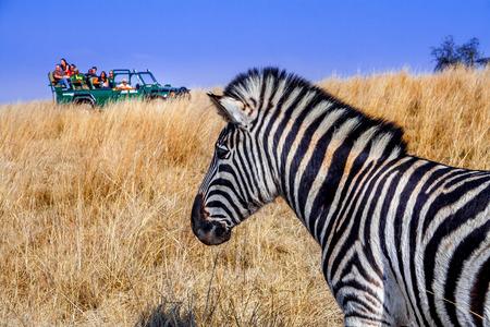 safari game drive: Un Plains o Burchells Zebra orologi come un veicolo a Safari gioco pieno di approcci turisti.