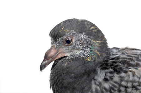 Close-up pigeon isolated on white background  photo