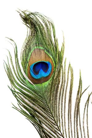 孤立した背景を持つ孔雀羽目
