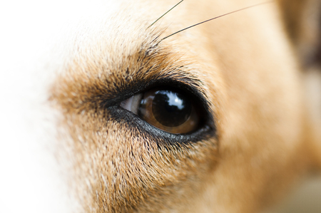 kampfhund: Nahaufnahme Schuss auf braunem Hund Auge